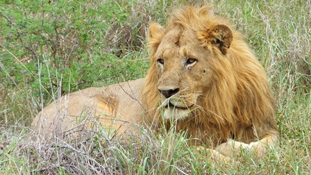 tl_files/Daten/Reisen/Afrika/Suedafrika/Scuba Addicts/lion.jpg